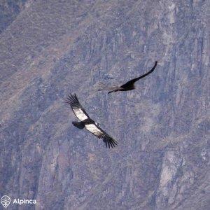 canyon-de-colca-condors-pérou