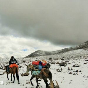 Mules au Hualca Hualca