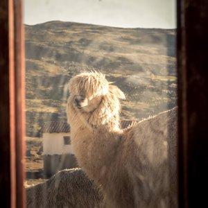 Alpaca_ausangate